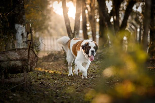 hund läuft außerhalb - bernhardiner stock-fotos und bilder