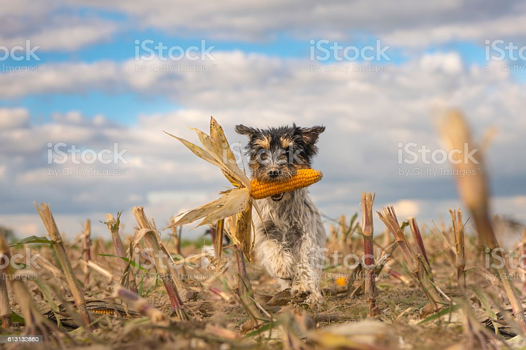 Dog running over harvested corn field in front of clouds. stock photo