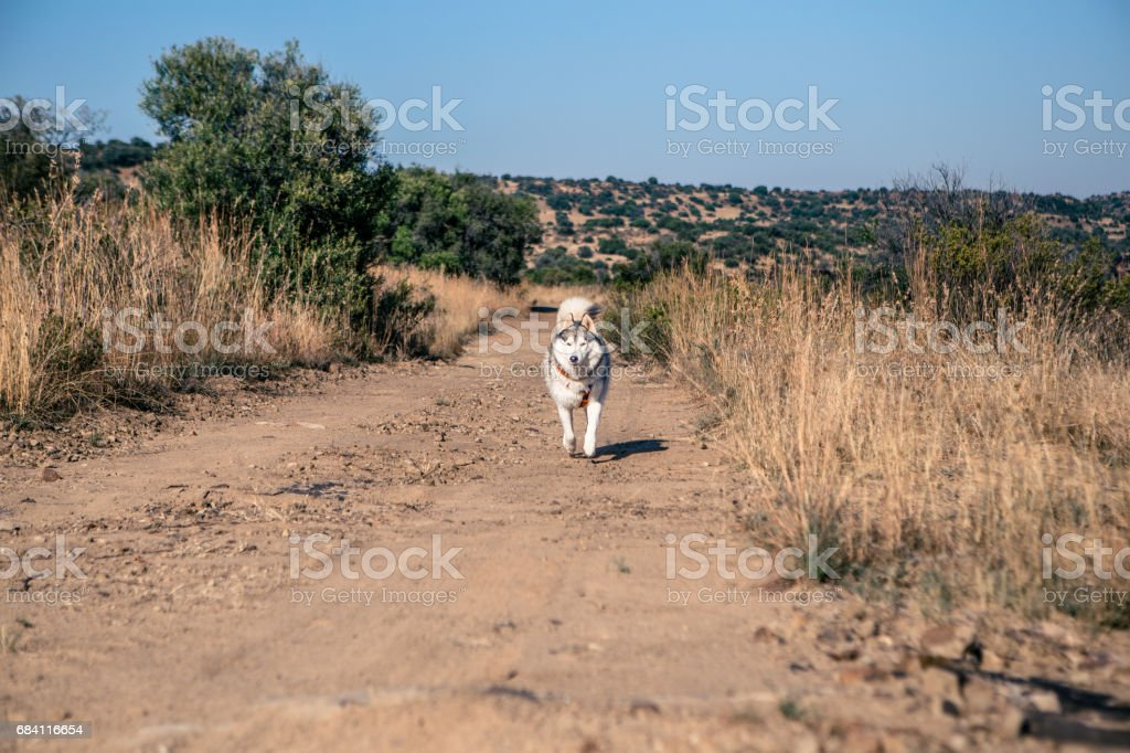Dog running royalty-free stock photo