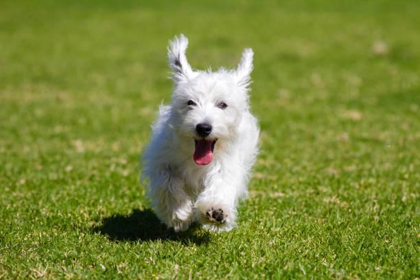 Dog running picture id943649096?b=1&k=6&m=943649096&s=612x612&w=0&h=j1uco 48ore0f1qmqwllokz9qb87ct4lrcnjmbeh35i=