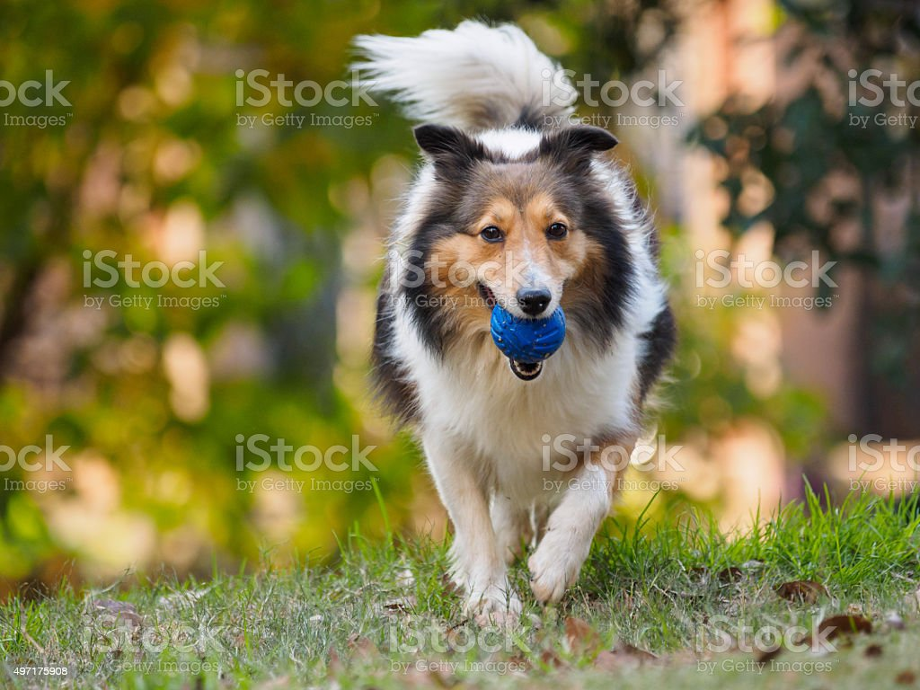 Dog, Running Shetland Sheepdog with ball in mouth stock photo