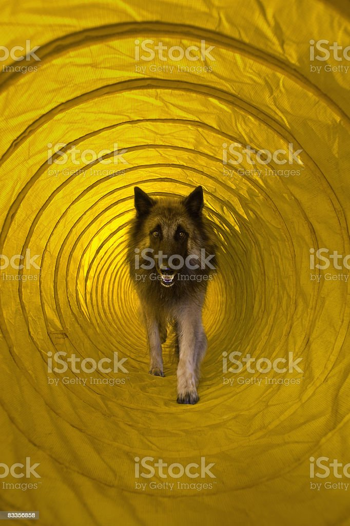 Dog running through agility tunnel royalty free stockfoto