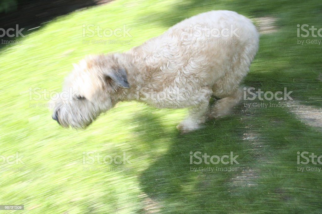 Dog running through garden at full speed! 免版稅 stock photo