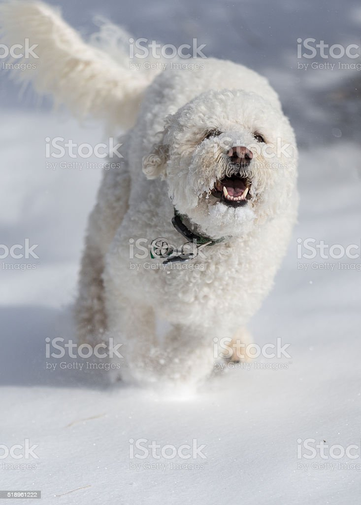 dog, rough, doodle, winter, brisk, outdoor, breed, move,...