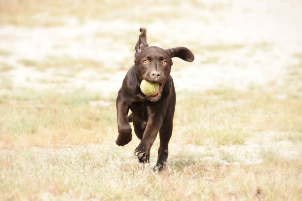 Dog running with ball in his mouth in green grass field. stock photo