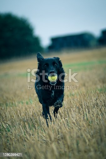 Dog returning to owner with ball in mouth running through a field at speed