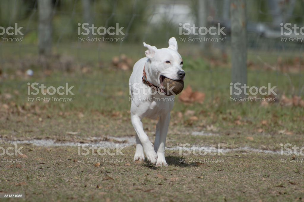 Dog running with ball stock photo