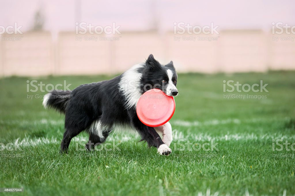 dog running with plastic disc in its mouth stock photo