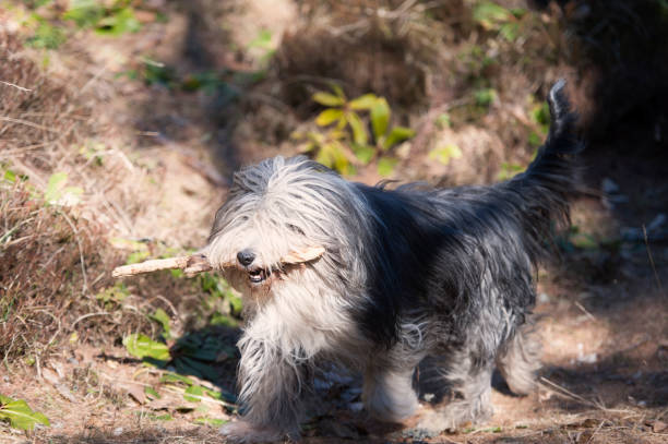 Dog running with stick in his mouth stock photo