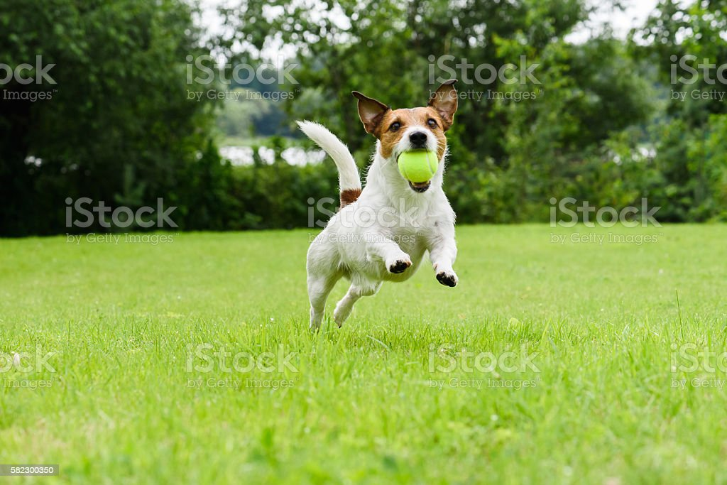Dog running with tennis ball in mouth on camera - foto de stock