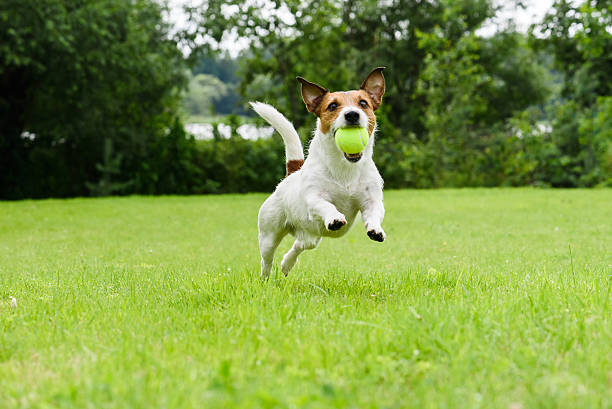 Dog running with tennis ball in mouth on camera stock photo