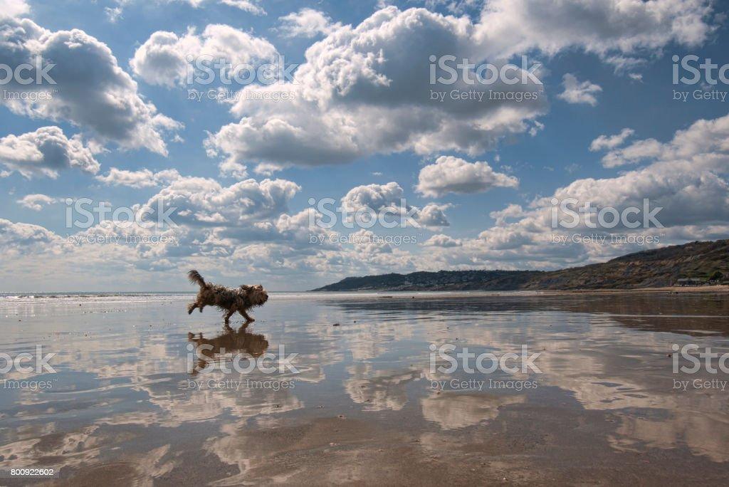 A dog runs across a very reflective beach at Charmouth in Dorset, England stock photo