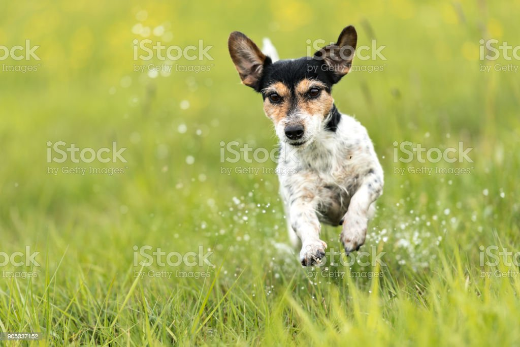 Dog runs over a green wet meadow - Jack Russell terrier doggy 7 years old - hair style broken stock photo
