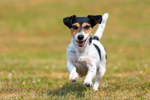 Dog runs over a seared dried meadow in summer jack russell terrier picture id1023646278?b=1&k=6&m=1023646278&s=612x612&w=0&h=bacrsykmk9wip6wjnk8n ppo5iobgd12nu txuibygq=