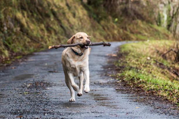 Dog runs with a stick
