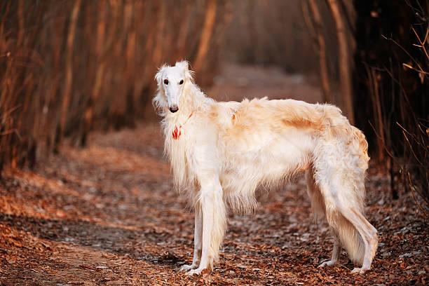 Dog Russian Borzoi Wolfhound Head, Outdoors Autumn Time White Russian Wolfhound Dog, Borzoi, Russian Hunting, Sighthound, Russkaya Psovaya Borzaya, Psovoi. sight hound stock pictures, royalty-free photos & images
