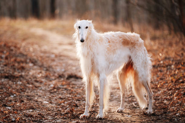 Dog Russian Borzoi Wolfhound Head , Outdoors Spring Autumn Time White Russian Wolfhound Dog, Borzoi, Russian Hunting, Sighthound, Russkaya Psovaya Borzaya, Psovoi. Spring Autumn Time, Outdoors Close Up Portrait . Spring Autumn Time, Outdoors sight hound stock pictures, royalty-free photos & images