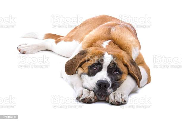 Dog saint bernard isolated on a white background picture id97686142?b=1&k=6&m=97686142&s=612x612&h=rigcleul0 t00wpg9lhsi8rucukv00znf4hfleye ek=