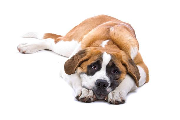 Dog saint bernard isolated on a white background picture id97686142?b=1&k=6&m=97686142&s=612x612&w=0&h=q9vw3ed ixmoxwgxx70pleesfzbyixkoux0sean0jn0=