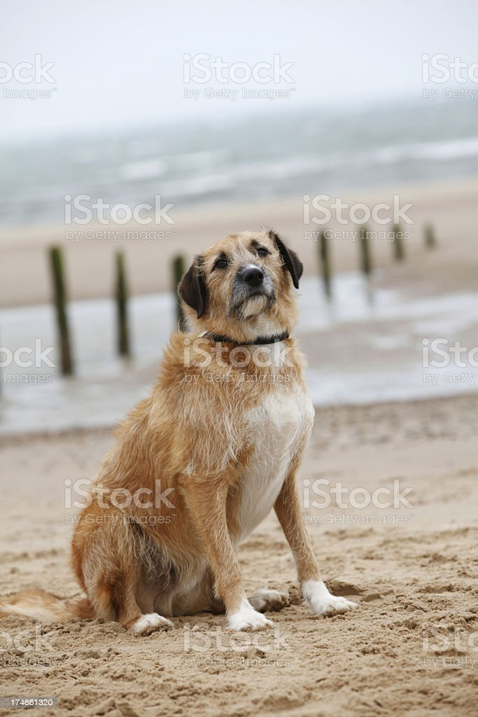 Dog sat on beach royalty-free stock photo