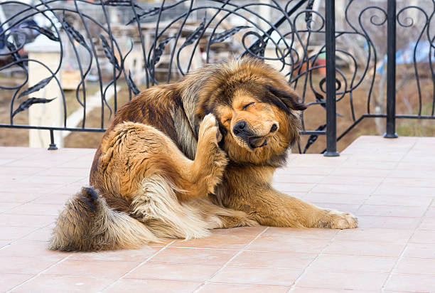 dog scratching fleas outside on a deck - scratching stock photos and pictures