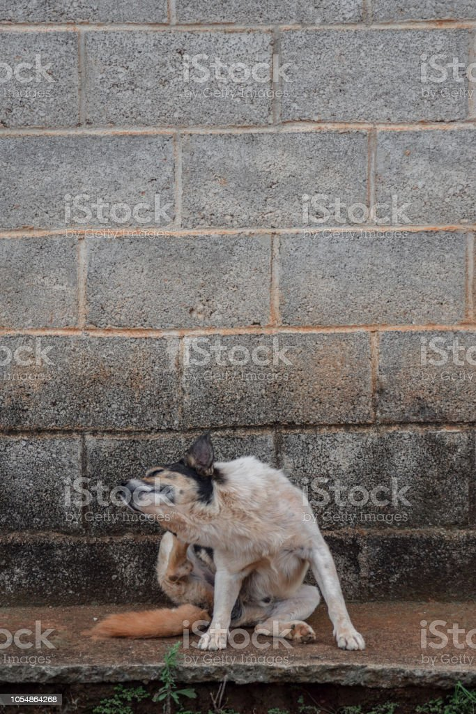Photograph of a cattle dog scratching itself on a sidewalk, with a...