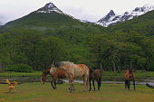 Dog screaming with Wild horses and Andes mountains, Ushuaia - Tierra Del fuego