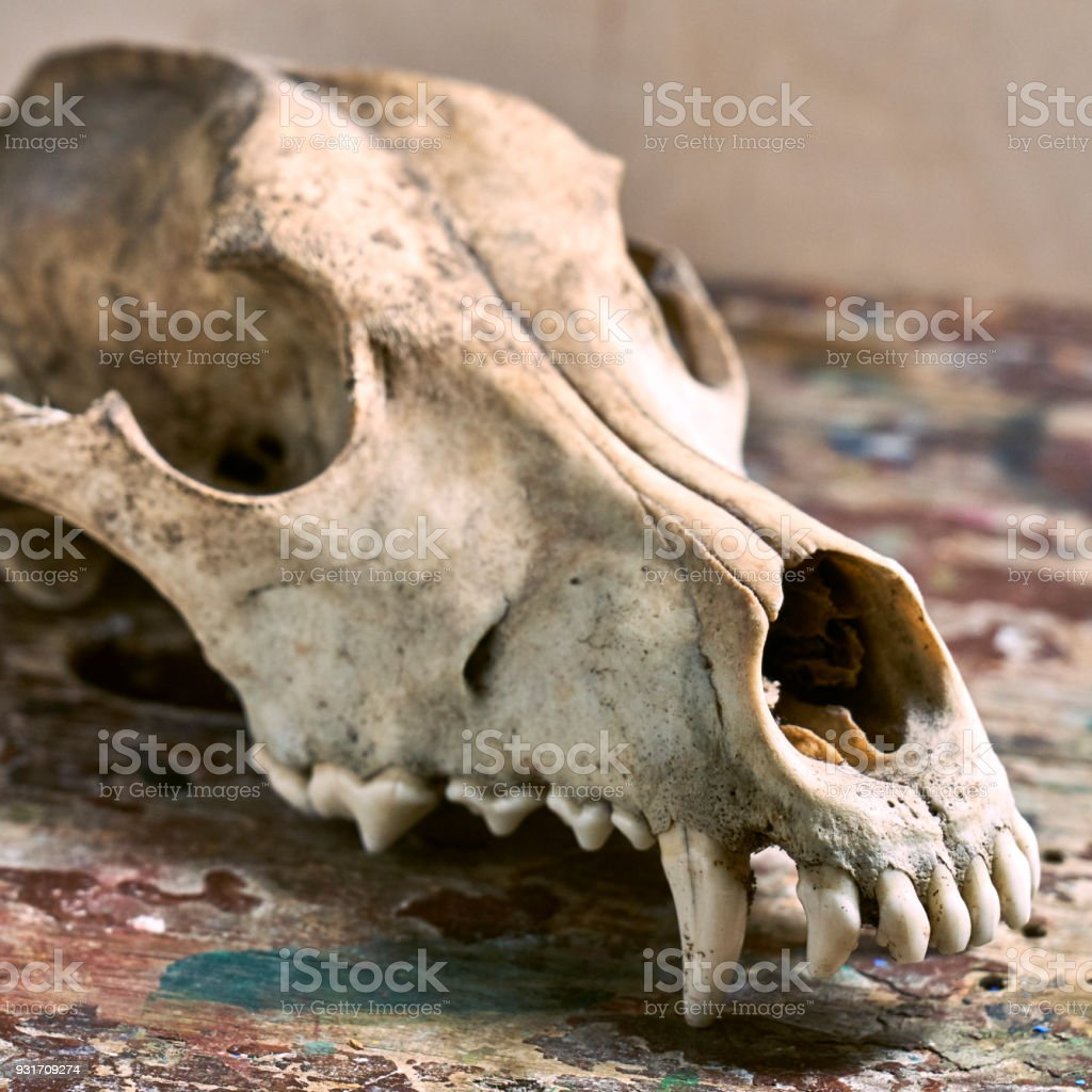 Dog Scull Without Lower Jaw Stock Photo More Pictures Of Anatomy