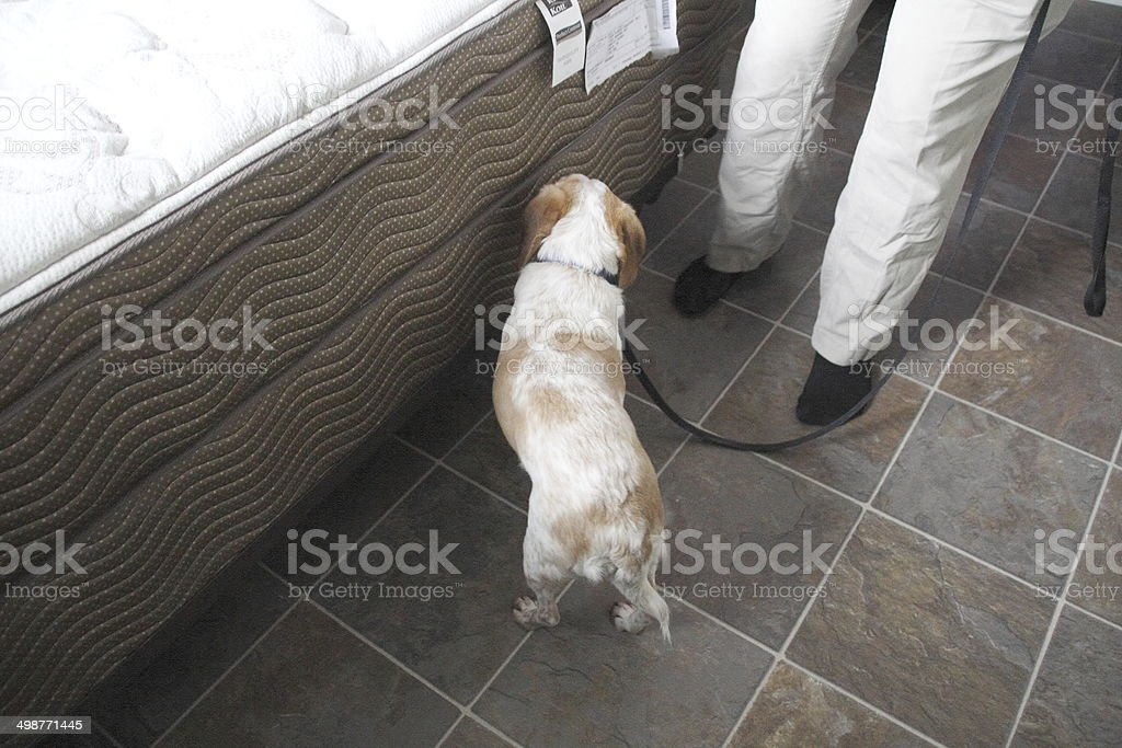 Dog Searches Mattress for Bed Bugs stock photo