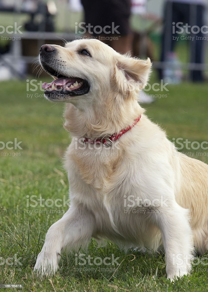 Dog series royalty-free stock photo