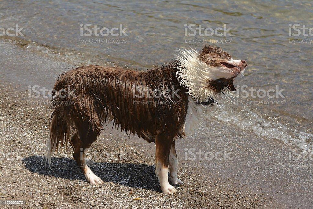 Dog shake water off royalty-free stock photo
