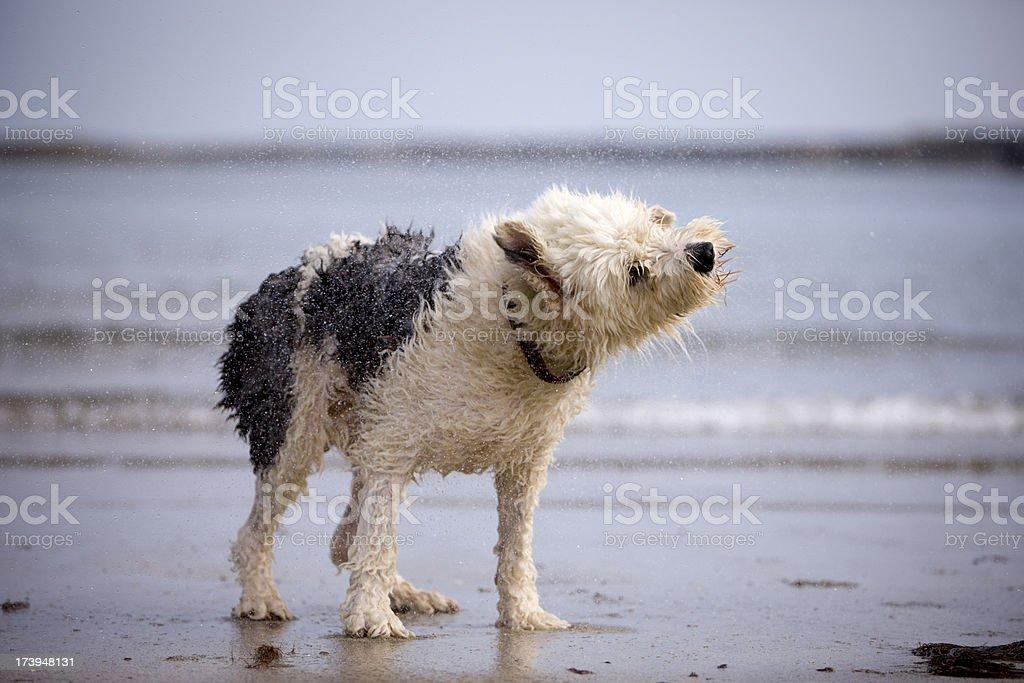 Dog shaking off water stock photo