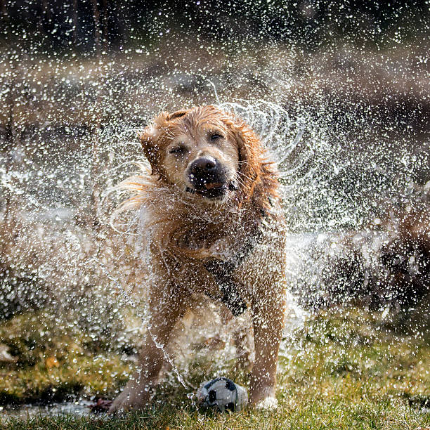 Dog shaking off water Golden retriever dog shaking off water slow motion stock pictures, royalty-free photos & images