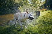Dog (labrador retriever) shaking water after swimming in pond at sunset.
