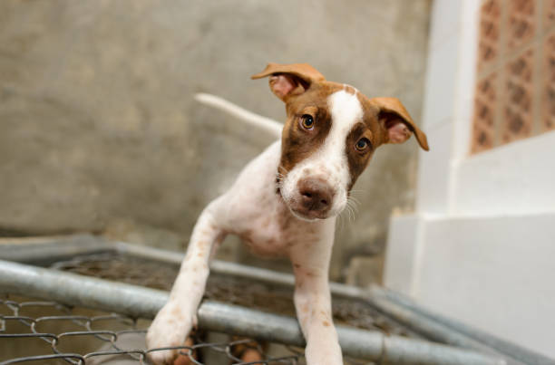 Dog Shelter Dog shelter is an animal shelter with a sad cute dog looking up wanting someone to take him home today. sheltering stock pictures, royalty-free photos & images