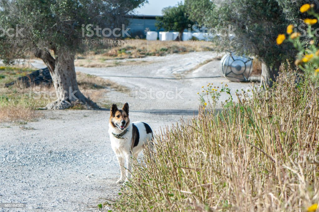 Dog shepherd for sheep, in a picturesque village royalty-free stock photo
