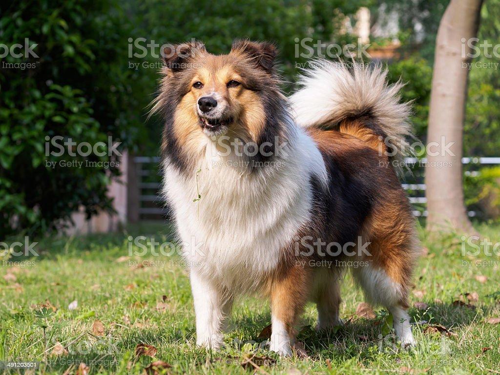 犬シェットランドシープドッグコリーsheltie ます noのストックフォト