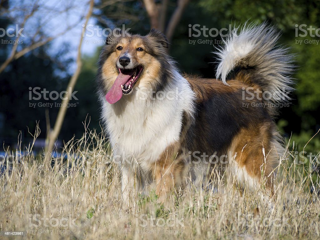 Dog, Shetland sheepdog waiting to play on grass in sunshine royalty-free stock photo