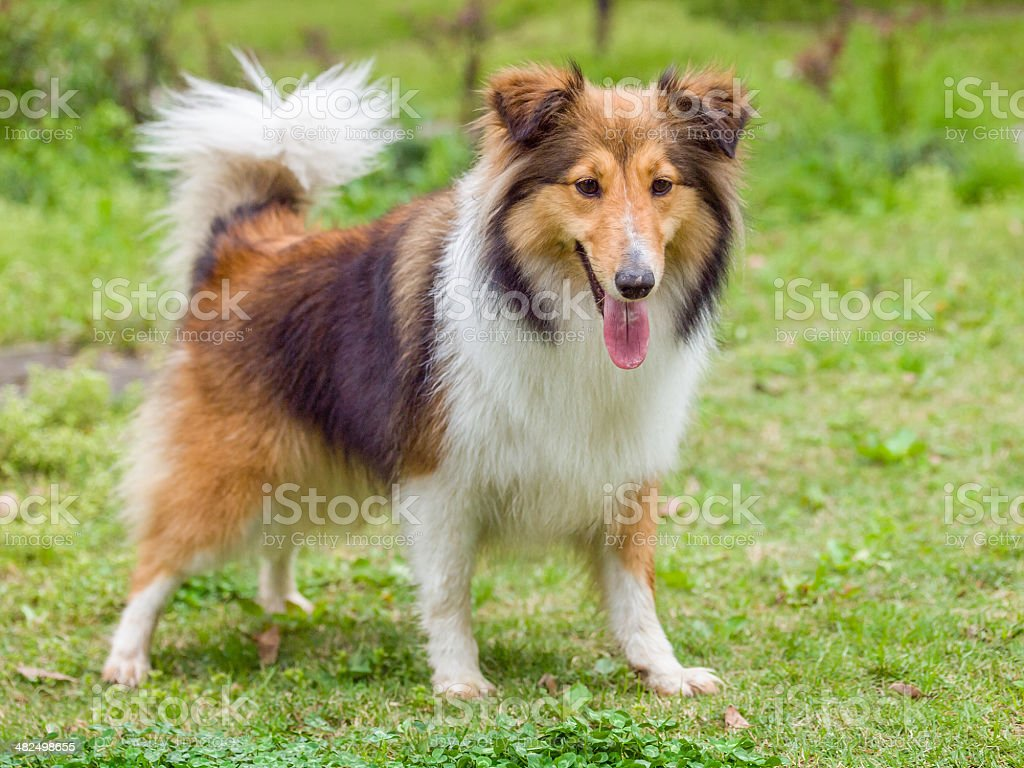 Dog, Shetland sheepdog, waiting to play with you. stock photo