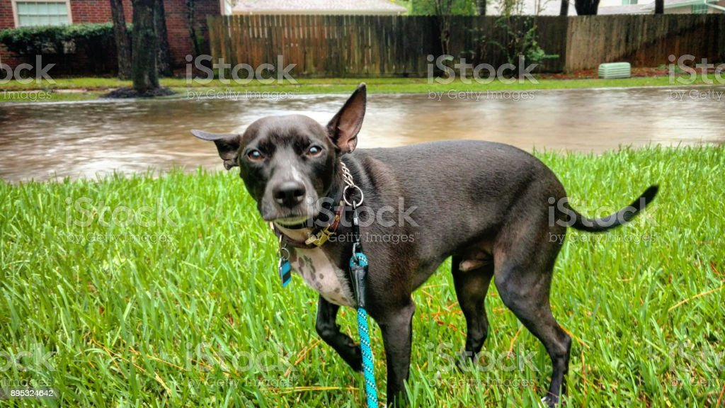 Dog Shivers in the Flooded Aftermath of Hurricane Harvey stock photo