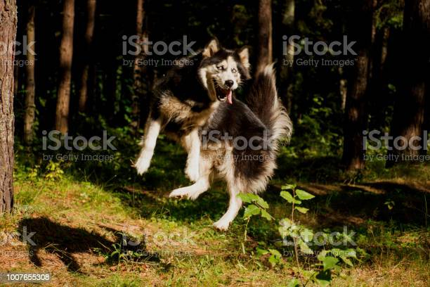 Dog siberian husky breedthe dog is jumpingsiberian husky is a breed picture id1007655308?b=1&k=6&m=1007655308&s=612x612&h=t9jcy24oqqqxxxffd bbii6hqwefnt2qpdt95xn5kdq=