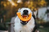 Dog Siberian Husky eating a pumpkin