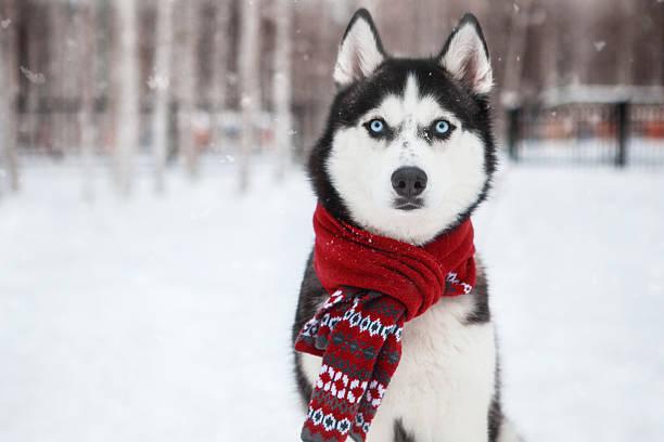 Dog siberian husky in a red scarf picture id626230238?b=1&k=6&m=626230238&s=612x612&w=0&h=soadboqex owcz3 gkk 50xpozu7jkke4anyajgc5pw=