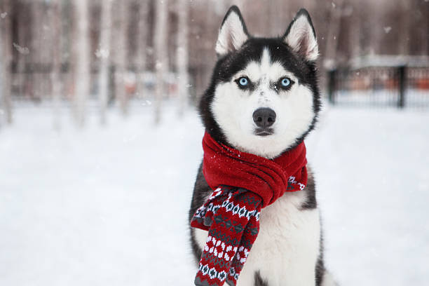Dog Siberian Husky in a red scarf Dog Siberian Husky in a red scarf husky dog stock pictures, royalty-free photos & images