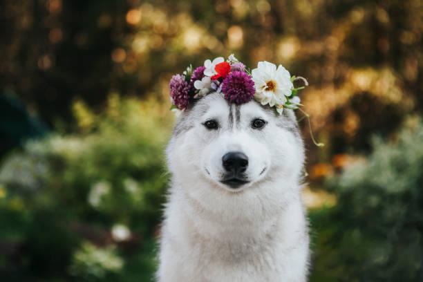 Hund sibirischer Husky im Blumenkranz – Foto