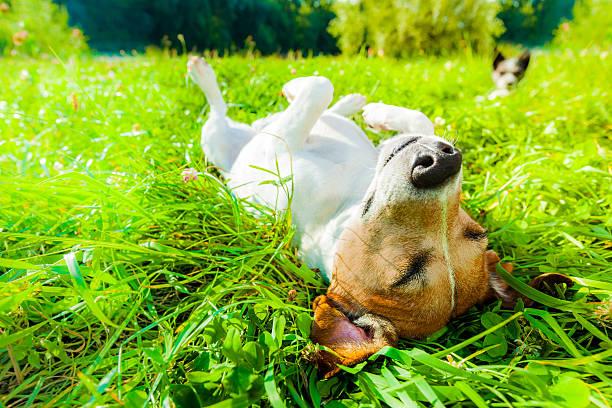 Dog siesta at park picture id589958398?b=1&k=6&m=589958398&s=612x612&w=0&h=0h1y5xcgi53ru9x3ijp9jlcbdgo3gccowszaxzywx50=