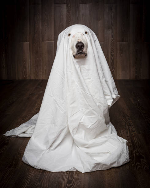 dog sit as a ghost for halloween stock photo