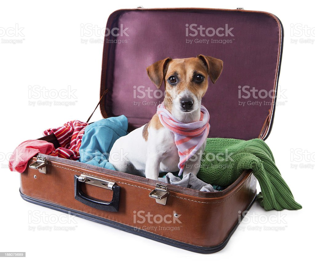 dog siting in suitcase for traveling royalty-free stock photo