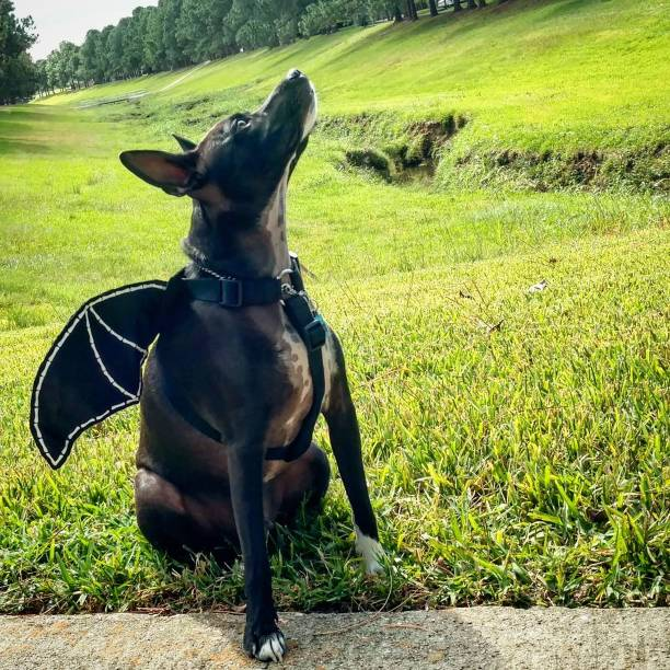 Dog Sits in a Bat Costume stock photo
