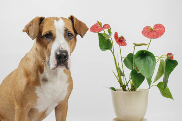 Dog sits next to a beautiful antharium flower in white background. Concept of pets and plants or allergy to domestic animals or flowers anthurium diseaces stock pictures, royalty-free photos & images